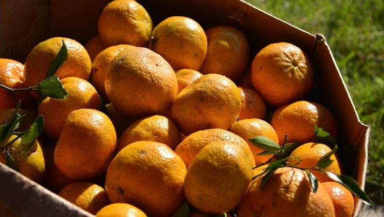 Bergamotas empilhadas no sol dentro de uma caixa